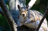 Startled Squirrel Making Eye Contact — Stock Photo