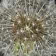 Nature Abstract - Dandelion Starburst — Stock Photo