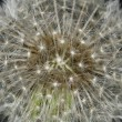 Stock Photo: Nature Abstract - Dandelion Starburst