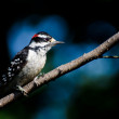 Stock Photo: Downy Woodpecker Perched on Branch