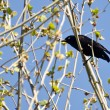 Evil Looking Common Grackle Perched in a Tree — Stock Photo