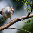 Stock Photo: Curious Chipping Sparrow Perched on Branch