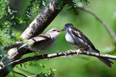 Young Chipping Sparrow Being Fed by its Parent — Stock Photo