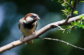 Male House Sparrow Perched on a Branch — Stock Photo