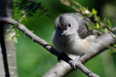 Young Tufted Titmouse All Fluffed Up — Stock Photo