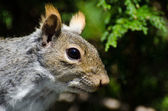 Squirrel Profile — 图库照片