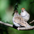 Stock Photo: Parent and Young Chipping Sparrow