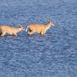 Stock Photo: Two Deer Wading Out into Water