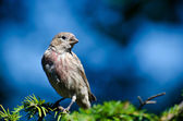 House Finch Perched on Evergreen Branch Against a Blue Background — Stock Photo