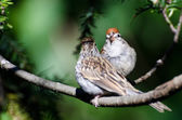 Parent and Young Chipping Sparrow — Stock Photo