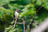 Male Ruby-Throated Hummingbird Perched in a Tree — Stock fotografie