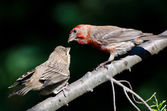 Male House Finch Feeding its Young — Stock Photo