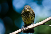 Red Winged Blackbird Perched in a Tree — Stock Photo