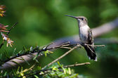 Ruby Throated Hummingbird Perched in a Tree — Stock Photo
