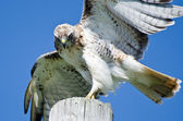 Red-Tailed Hawk Peering at Prey — Stock Photo