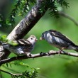 Young Chipping Sparrow Being Fed by its Parent — Lizenzfreies Foto