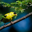 AmericGoldfinch Perched on Branch — Stock Photo #36303457