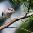 Chipping Sparrow Perched on a Branch — Stock Photo