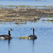 Adult Canada Geese Swimming With Their Goslings — Stock Photo