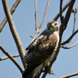 Stock Photo: Young Red-Tailed Hawk Making Eye Contact