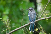 Blue Jay in the Rain — Stock Photo