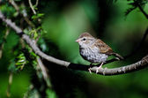 Young Chipping Sparrow Perched on a Branch — Foto Stock