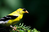 American Goldfinch Perched on a Branch — Stockfoto