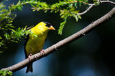 Male American Goldfinch Perched on a Branch — Stock Photo