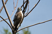 Young Red-Tailed Hawk Making Eye Contact — Stock Photo