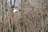 Common Merganser Flying Over Marsh — Stock Photo