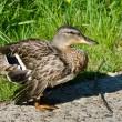 Injured Female Mallard Duck — Stock Photo