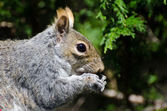 Squirrel Eating a Seed — Stock Photo