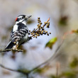 Stock Photo: Downy Woodpecker Eating Berries