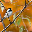 Black-Capped Chickadee in Autumn — Stock Photo #36598285