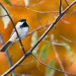 Black-Capped Chickadee in Autumn — Stock Photo