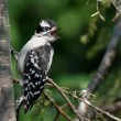 Young Downy Woodpecker Calling for Parents — Stock Photo #36598583