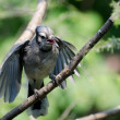 Foto de Stock  : Young Blue Jay Begging To Be Fed