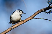 White-Breasted Nuthatch Perched in a Tree — Foto de Stock