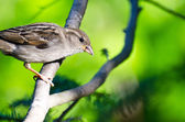House Sparrow Perched in a Tree — 图库照片
