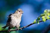 Female House Finch Against a Blue Background — Foto de Stock