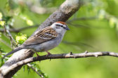 Chipping Sparrow Perched in a Tree — Stok fotoğraf