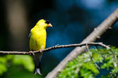 Male American Goldfinch Perched in a Tree — Foto de Stock