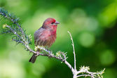House Finch Perched in a Tree — Stock Photo