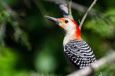 Red-Bellied Woodpecker Profile — Foto Stock