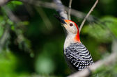 Red-Bellied Woodpecker Profile — Stock Photo