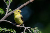 Female American Goldfinch Perched in a Tree — Foto de Stock
