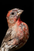 Male House Finch Close Up — Foto de Stock