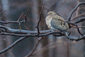 Mourning Dove Perched in the Rain — Stok fotoğraf