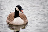 Canada Goose Calling on the Water — Foto Stock