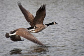 Canada Geese Taking Flight Off of the Water — Zdjęcie stockowe
